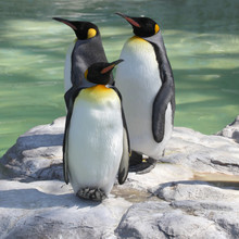 Three Emperor Penguins Resting...