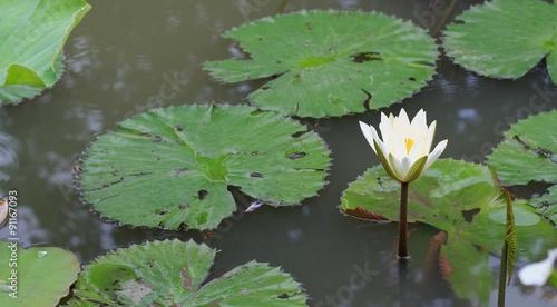 Deurstickers Waterlelies This beautiful waterlily or lotus flower