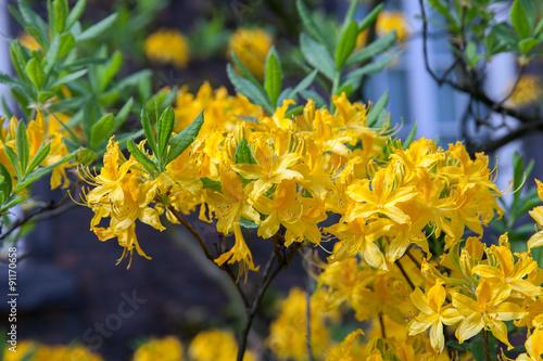 Papiers peints Azalea yellow flowered rhododendron