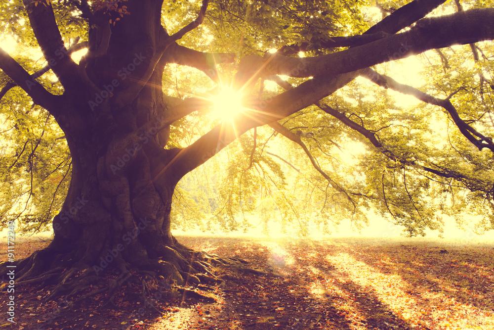 Beech Tree  in the Morning Light