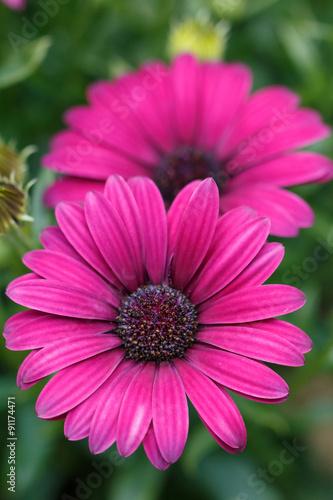 Staande foto Roze デイジーの花