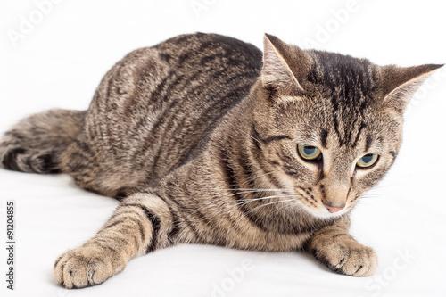 Fototapeta graue getiegerte Katze liegt auf weissem Hintergrund obraz na płótnie