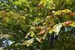 Kastanienbaum mit ersten bunten Blättern