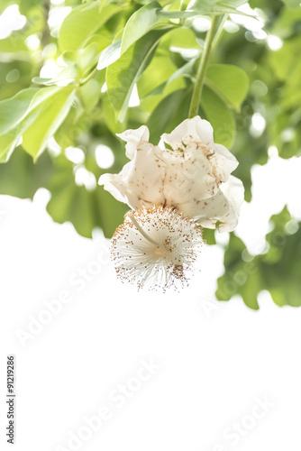 In de dag Baobab White Baobab flower (Adansonia digitata), isolated