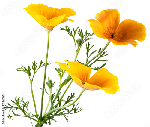 In de dag Klaprozen flower Eschscholzia californica (California poppy, golden poppy, California sunlight, cup of gold) isolated on white background shots in macro lens close-up