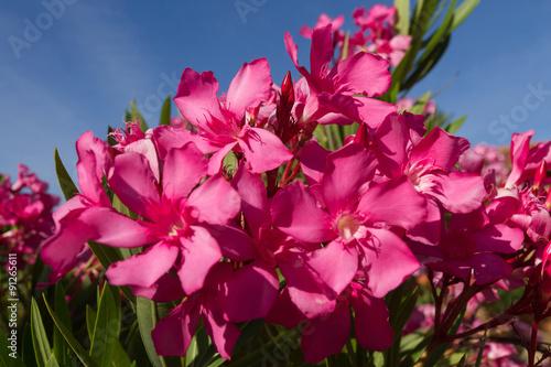 Flores Azaleas De Color Rosa Con Fondo De Cielo Azul Buy This Stock Photo And Explore Similar Images At Adobe Stock Adobe Stock