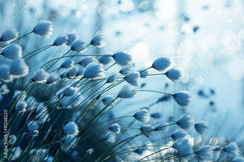 Cotton grass on the lake on a summer evening - 91268220