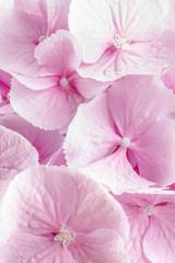 Fototapetapink hydrangea flower macro lens shot
