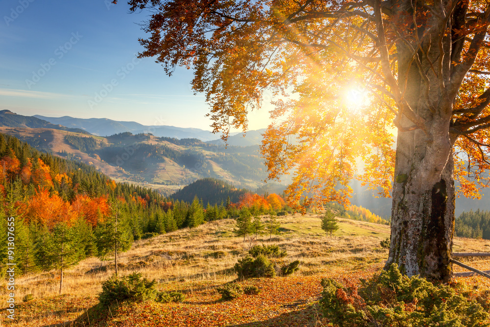 Fototapeta Early Morning Autumnal Landscape - yellow old tree against the