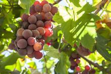 Vine Arbor Grapes