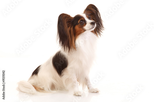 Papiers peints Papillon Papillon dog