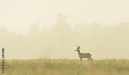 Roe roe buck in the mist at sunrise