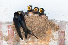 Barn Swallow Feeding Chicks In...