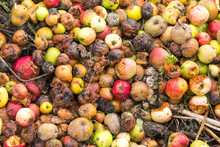 Very Rotten Green, Yellow And Red Apples