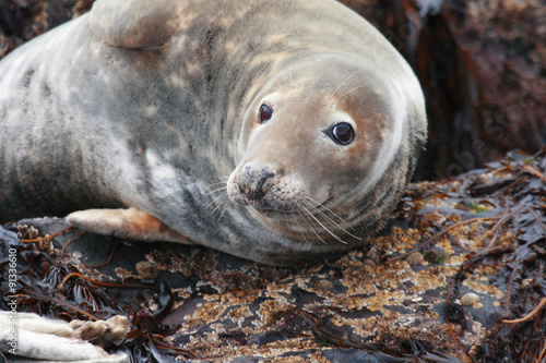 Fotografía  Foca grigia Isole scozia farne,