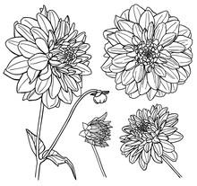 Vector Dahlia Flower Set. Line Art.
