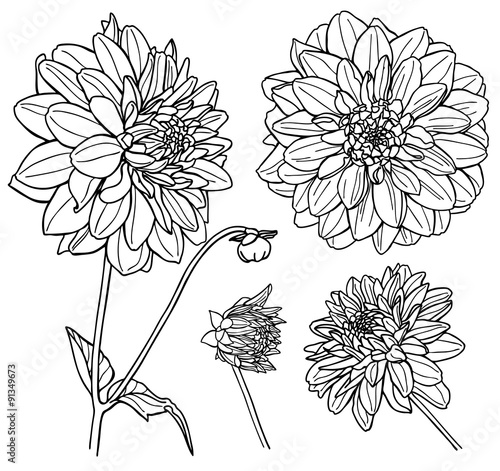 Carta da parati Vector Dahlia flower set. Line art.
