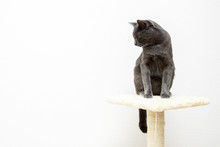 Young Gray Cat On Cat Tree, White Background