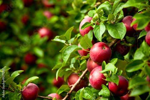 Fotografija  Organic red ripe apples on the orchard tree with green leaves