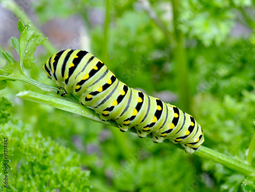 Cuadros en Lienzo  Black Swallowtail caterpillar feeding on parsley