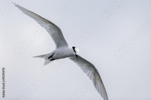 Bird in flight -  Back-naped Tern Poster