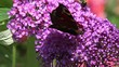 Butterfly European Peacock and bumble bee on purple Flower