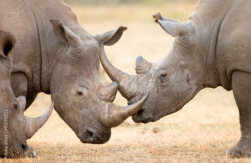Tuinposter Neushoorn White Rhinoceros locking horns