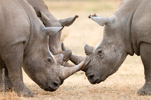 Fényképezés  Three White Rhino's  locking horns