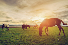 Horses On The Field Grass With Sunset Vintage And Retro Style