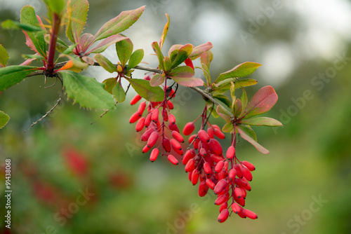 Photo Barberry