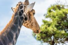 Giraffe Auf Dem Weg Zum Fressen