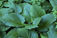 Cluster Of Dark Green Skunk Cabbage Leaves, Chatfield Hollow, Co