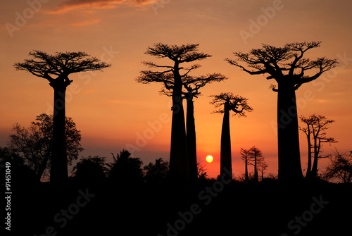 Keuken foto achterwand Baobab Baobabs in the sunset