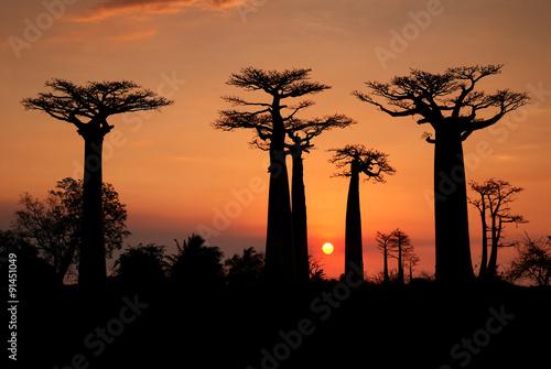 In de dag Baobab Baobabs in the sunset