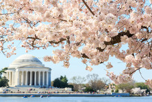 Cherry Blossom Festival At Thomas Jefferson Memorial In Washingt