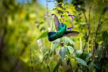 Green Violet Eared Hummingbird...