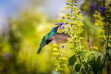 Green Violet Eared Hummingbird In The Central Mountains Of Mexico. This Is A Rare Picture Of A Medium Sized Hummingbird That Is Very Elusive And Shy. This Bird Can Be Identified By Is Very Noisy Voice