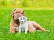 Bordeaux Puppy Dog With Newborn Kitten On Green Grass