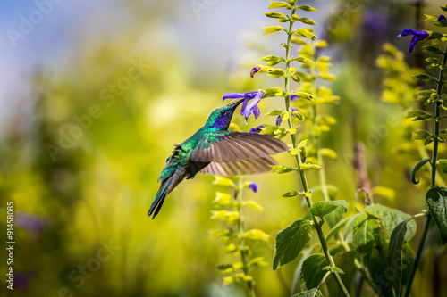 Photo Green Violet Eared Hummingbird in the central mountains of Mexico