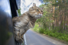 Head Cat  Out Of A Car Window...