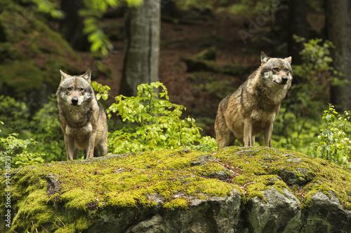 Foto op Plexiglas Wolf European wolf, Europaeischer Wolf, Canis lupus, wolf, CZECH REPUBLIC