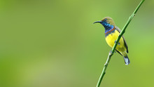 (Bird) Olive-backed Sunbird Pe...