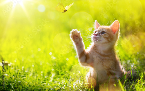 Cuadros en Lienzo art Young cat / kitten hunting a ladybug with Back Lit