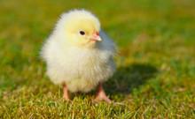 Cute Little Chick Outside On Green Meadow