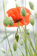 A Beautiful Fragile Red Poppy Flower (Papaver Rhoeas) Set In A Dreamy White Field Of Paper Green Seeding Canary Grass (Phalaris Canariensis)