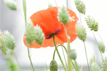 The Base Of A Beautiful Fragile Red Corn Poppy Flower (Papaver Rhoeas) Set In A Dreamy White Field Of Paper Green Seeding Canary Grass (Phalaris Canariensis)