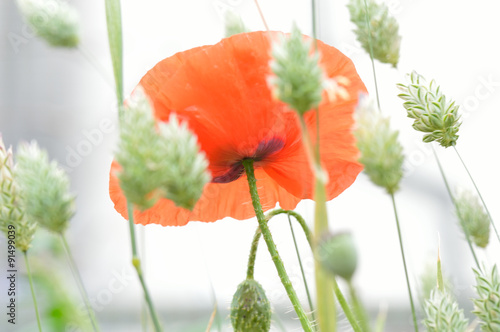 Fototapeta The base of a beautiful fragile red corn poppy flower (Papaver rhoeas) set in a dreamy white field of paper green seeding canary grass (Phalaris canariensis)  obraz na płótnie