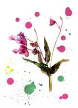 Balsam Flower, Jewelweed. Arti...