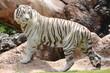 Biały tygrys w Loro Park na Teneryfie