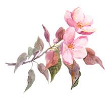 Pink Apple Tree Flower. Waterc...